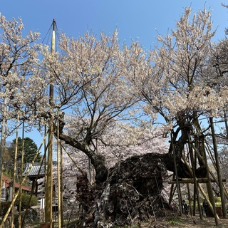 2021 桜.jpg